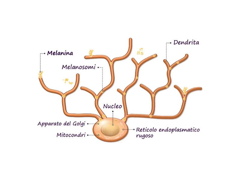 Melanocita